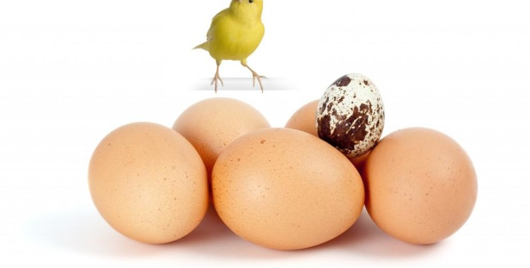 Manfaat Telur Untuk Kenari
