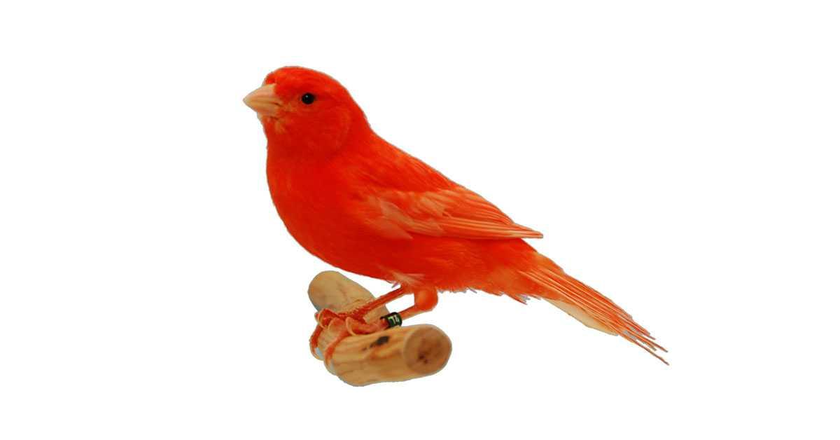 Kenari Merah / Red Factor Canary
